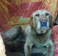 Найден собака кобель лабрадор